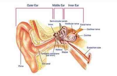 عملکرد گوش
